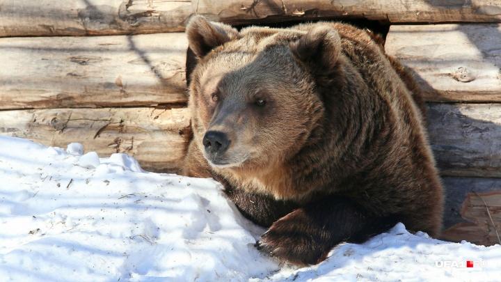 Пора на боковую: в уфимском вольере медведи готовятся к зимней спячке