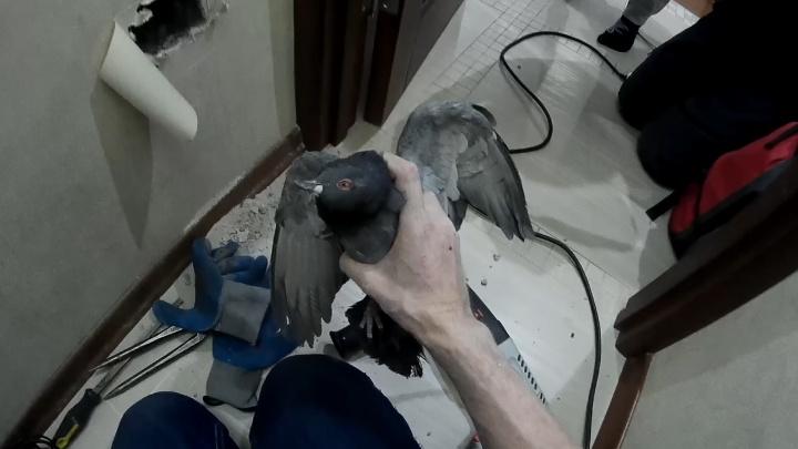 В квартире екатеринбуржцев вскрыли стену, чтобы достать застрявшего голубя