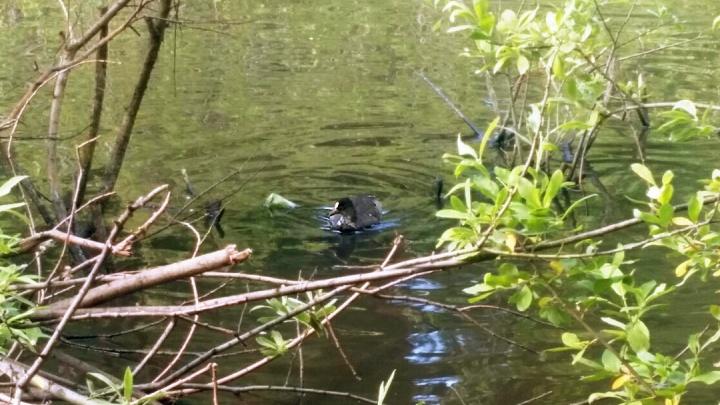 В Новосибирске впервые заметили лысую птицу, которая бегает по воде и дерётся с утками