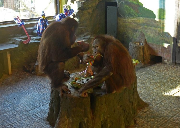 Орангутаны очень умные<br><br>