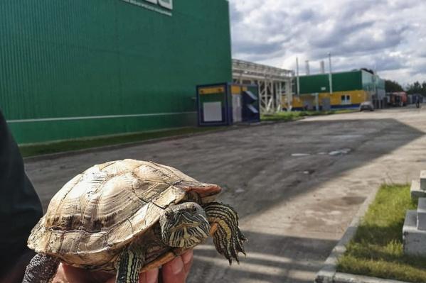Черепаху мог спасти от гибели прочный панцирь