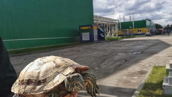 Прошла пресс и пакеторазрыватель: в Тюмени на мусоросортировочном заводе нашли живую черепашку