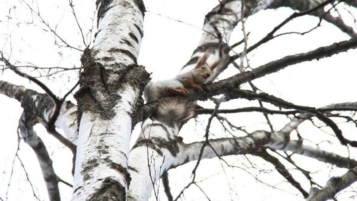 В ярославском парке поселят белок: где покормить