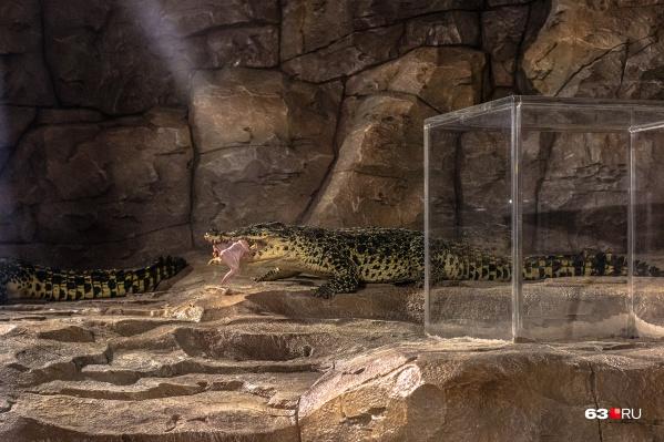 Крокодилы едят не каждый день, поэтому увидеть их кормление можно по расписанию