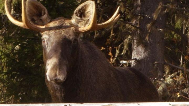Горностай, лось, соболь и медведи: звери из Прикамья участвуют в конкурсе «Фотоловушка-2018»