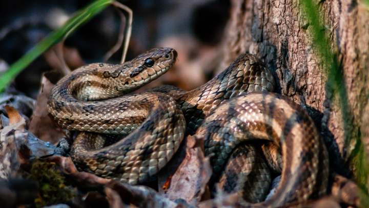 «Строит из себя улыбчивый змейский труп»: волжанин сделал уникальные фотографии ползучих гадов