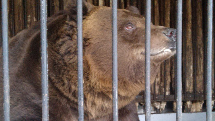 Самарцев приглашают на день рождения самого крупного хищника зоопарка
