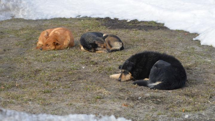 Екатеринбургские депутаты отказались выделить 40 миллионов на борьбу с бродячими собаками