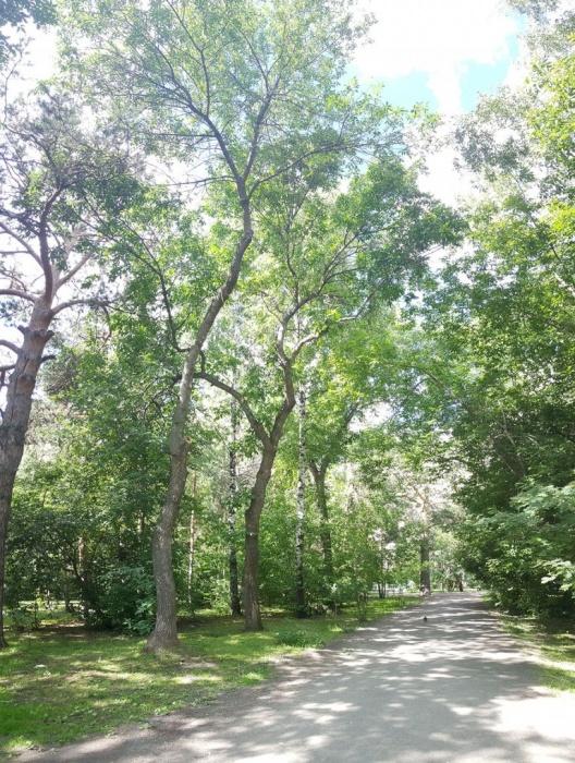 Эти четыре дерева намечены под снос, поскольку проектировщики решили сместить дорожку на несколько метров влево