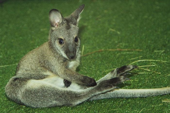 Датой рождения кенгурят принято считать день их выхода из сумки