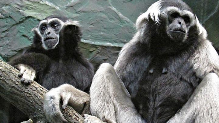 К самке гиббона из Новосибирского зоопарка приехал жених из Франции