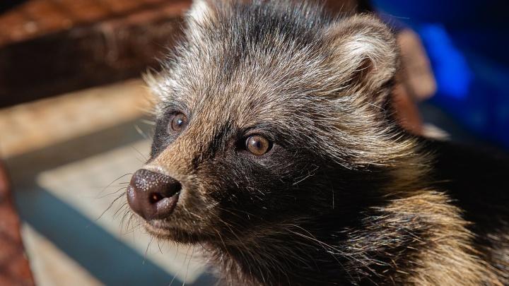 В красноярском зоопарке появилась обаятельная енотовидная собака по имени Матильда