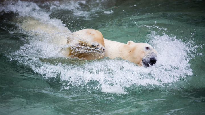 Белый медведь Кай получил в подарок на день рождения канистру — и сломал её