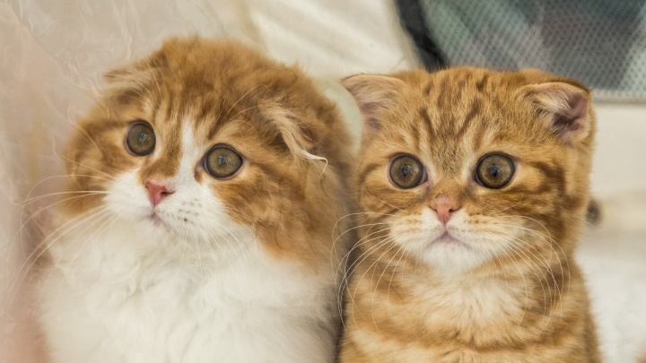 Фоторепортаж: новосибирцам показали сотню породистых кошек для богачей