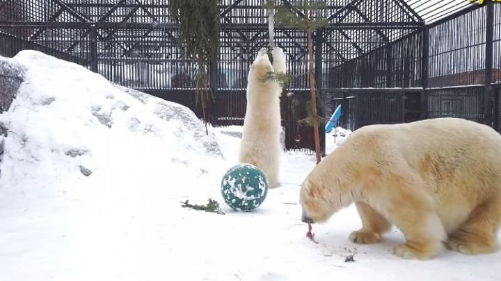 Видео: белые медведи устроили задорные игры с появившимися в вольере ёлками
