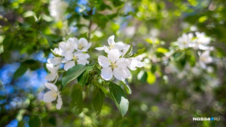 Красноярские красавицы устроили фотосессию с распустившейся яблоней
