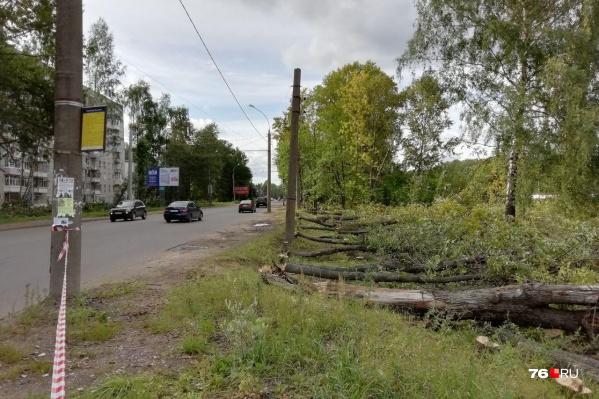 Дефектованным оказался целый ряд деревьев