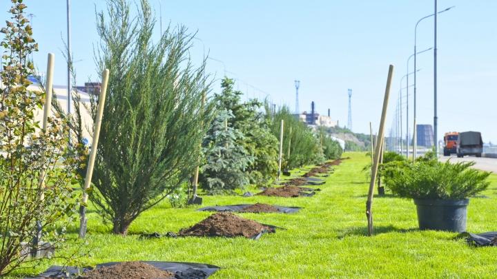 На новом участке Центральной набережной Волгограда работники «ЛУКОЙЛа» высадили зеленую аллею