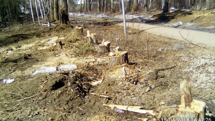 Дорога вместо леса: в Заельцовском районе вырубили берёзы и сосны