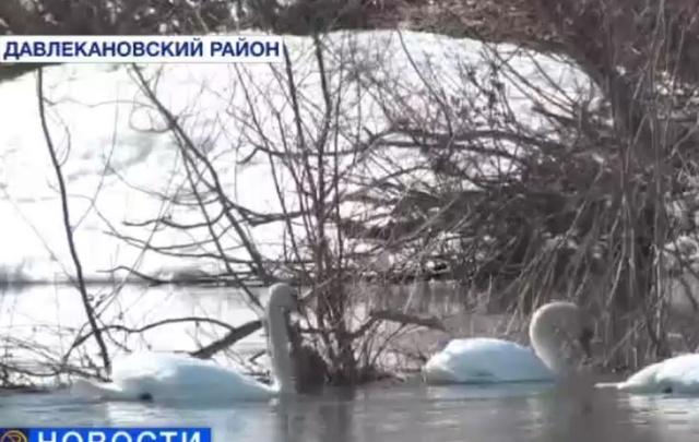 В Башкирию прилетела стая лебедей