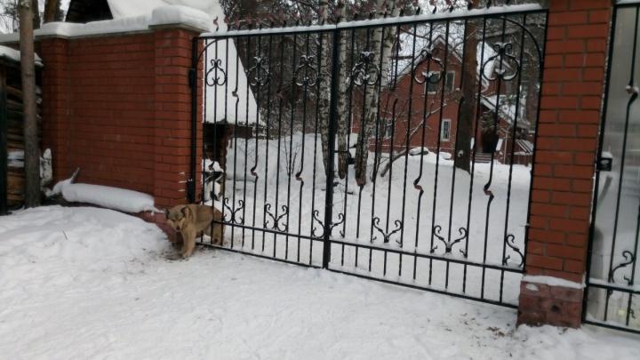 В Перми спасли собаку, застрявшую в металлической решетке у коттеджа. Видео спасения