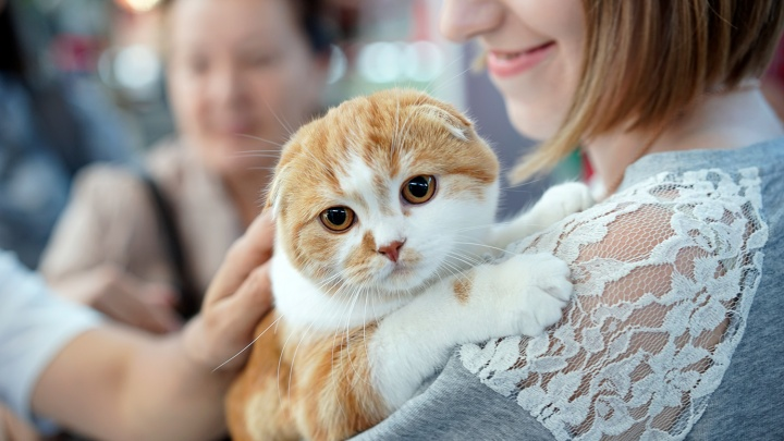6-месячную «шотландку» Есению признали самой солнечной кошкой на выставке в Омске
