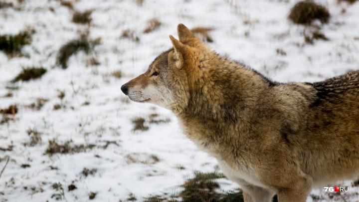 Спутал с волком: в Ярославской области охотник случайно застрелил человека