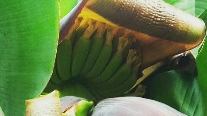 В Ботаническом саду созрел небывалый урожай бананов