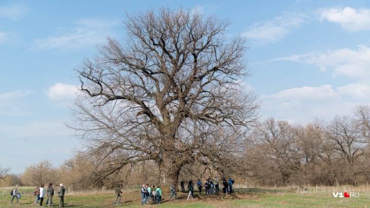 «Дуб на острове пропадает»: старейшему дереву Волгоградской области 333 года