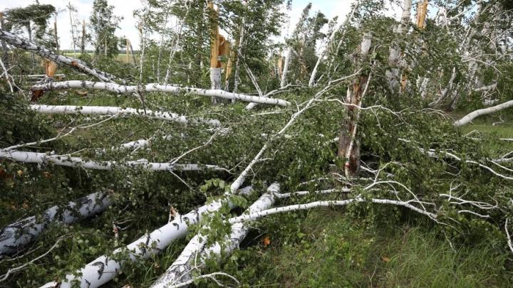 Дрова по 100 рублей за кубометр: зауральцы могут приобрести поваленный ураганом лем