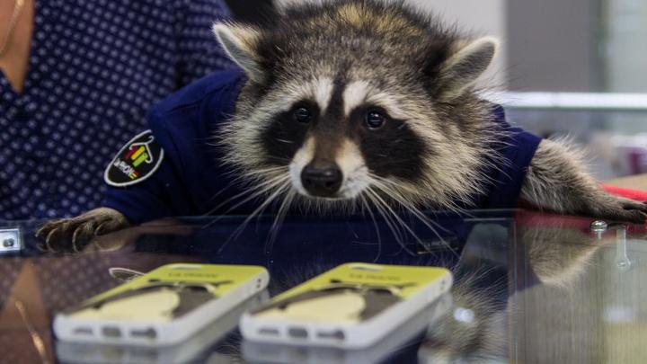 Живой енот начистил новосибирцам планшеты в La PHONE