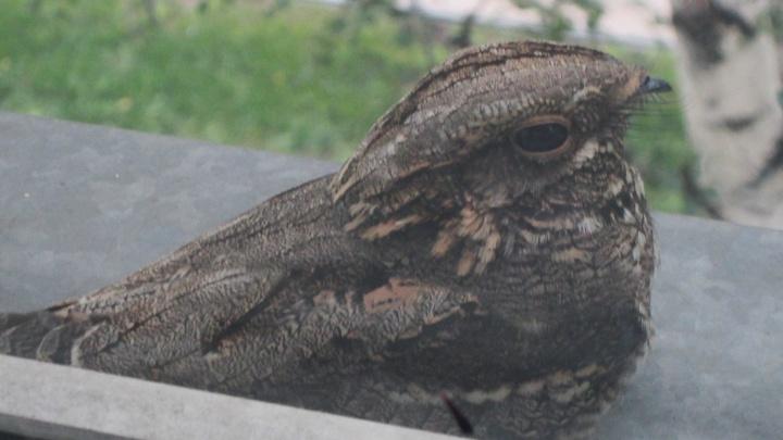 Какая странная птица: в Новосибирске заметили редкого козодоя со скрипучим голосом