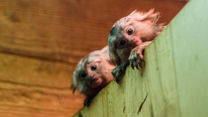 Доигрались: у пары обезьянок-игрунок из ростовского зоопарка появилось потомство