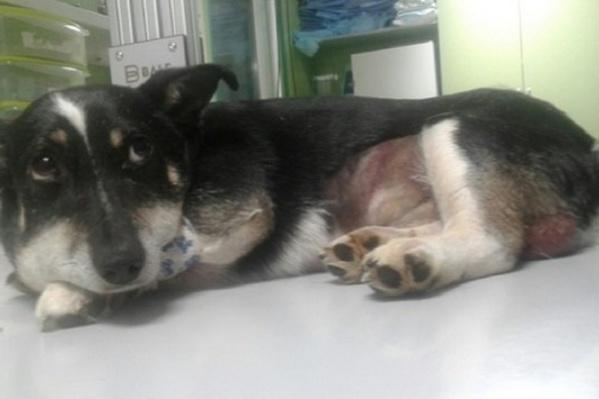 Басик чувствует себя очень плохо: у него отбиты почки, оторван хвост и заражение крови
