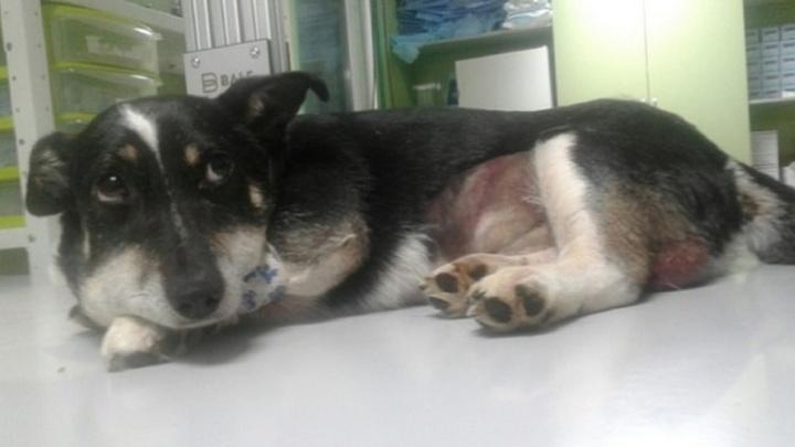 «Шок, нет даже слез»: в Прикамье ветеринары спасают собаку, которую жестоко избили и расстреляли