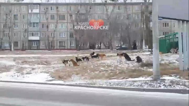 Дети из поселка Шинников ходят в школу через свору собак