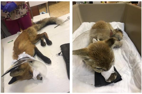 Сейчас оба лисёнка находятся под присмотром врачей
