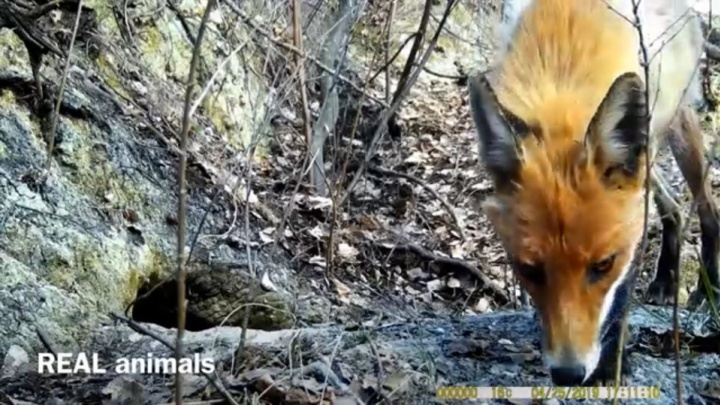 Минутка милоты: в Башкирии фотоловушка записала, как животные выходят из спячки