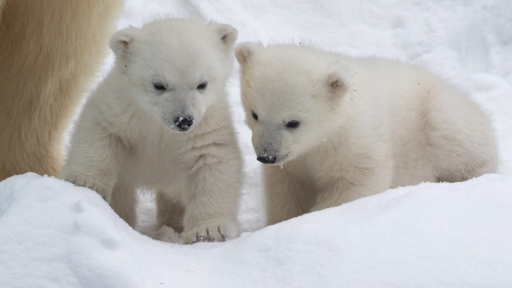 Новосибирский зоопарк предложил выбрать имена для белых медвежат