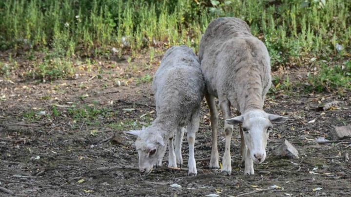 У жителя Екатеринбурга в Зауралье украли отару овец