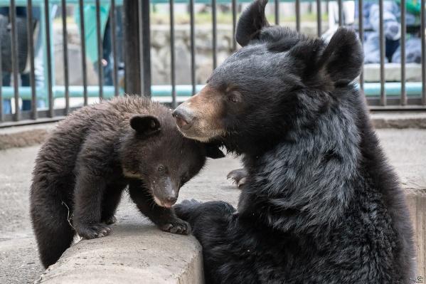 Гималайские медвежата родились в январе, но до недавнего времени посетители зоопарка не могли их видеть