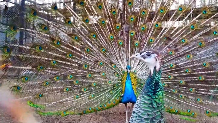 Видео: в зоопарке сняли брачный танец павлина