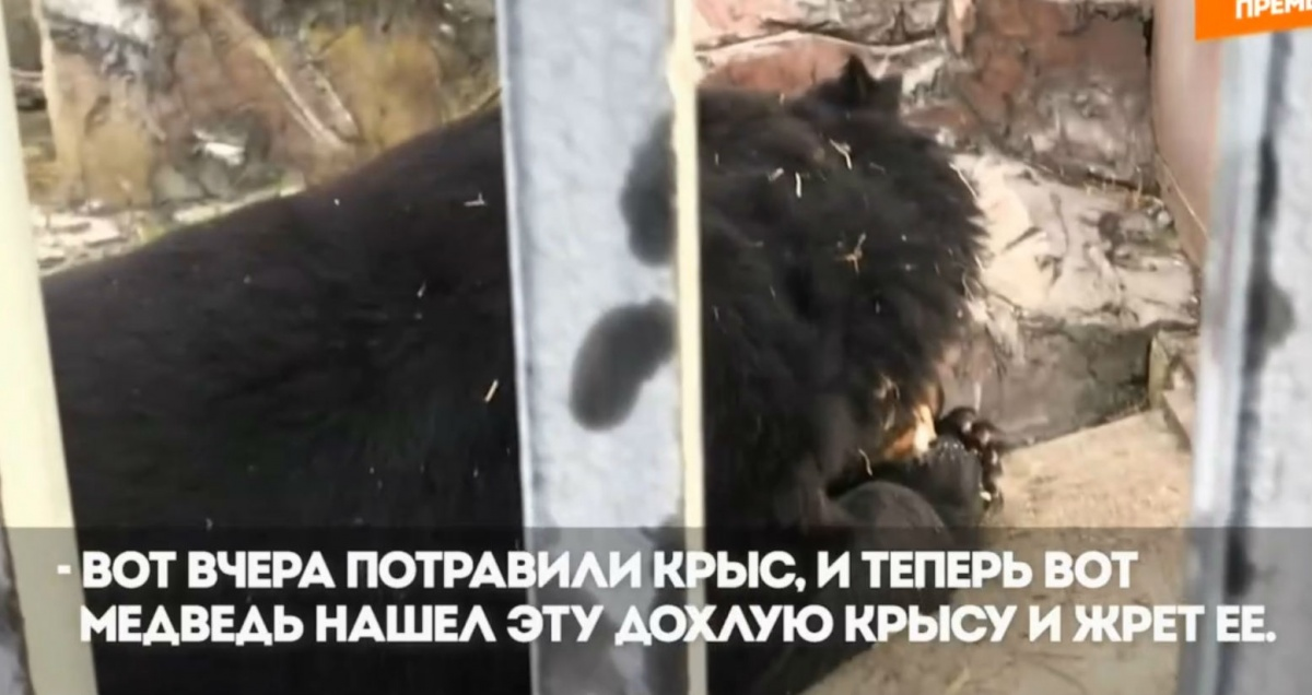 «В природе белые медведи едят и падаль»: в зоопарке ответили на обвинения в плохом содержании зверей