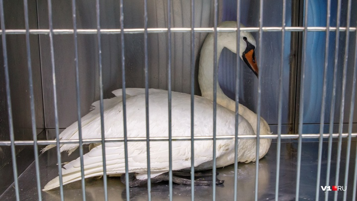 «Он не смог улететь с семьёй»: в Волгоградской области обессилевший лебедь прилип крыльями ко льду