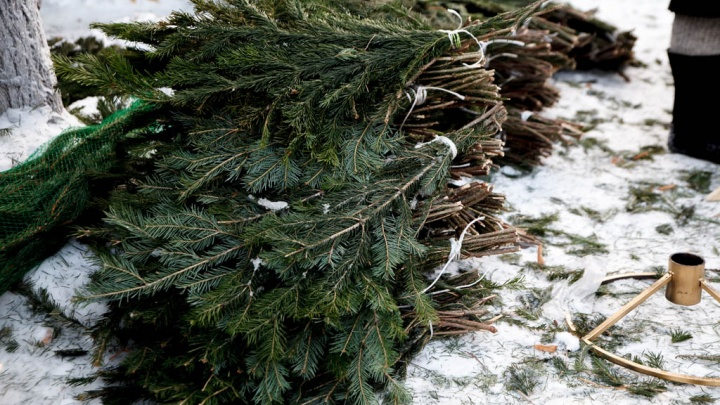История тюменца, прогоревшего на бизнесе по продаже живых елок: подставы от рабочих и конкурентов