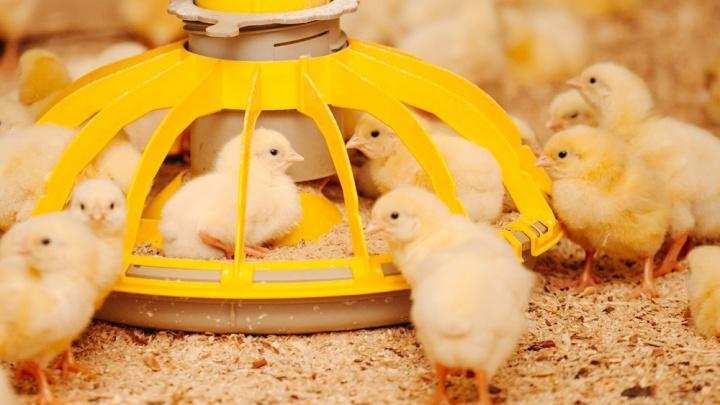 На двух южноуральских птицефабриках началась вспышка птичьего гриппа