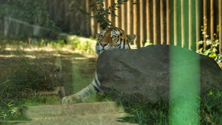 В Ростовский зоопарк привезут молодую амурскую тигрицу из Москвы