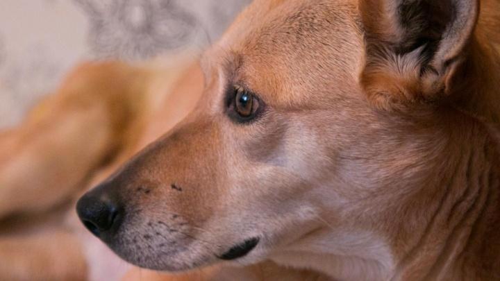 «Главное, что собаке лучше»: спасение бродяжки привело архангельских зоозащитников в суд