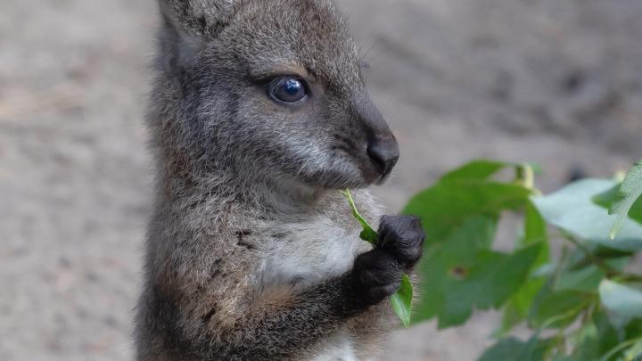 Детёныш кенгуру вышел пощипать листву в новосибирском зоопарке. Он чрезвычайно милый