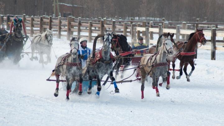 Русские тройки, скачки на лошадях и кормление тигрят: где побывать пермякам в ближайшие дни